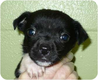Pug/Chihuahua Mix Puppy for adoption in Eastpoint, Florida - Gabby