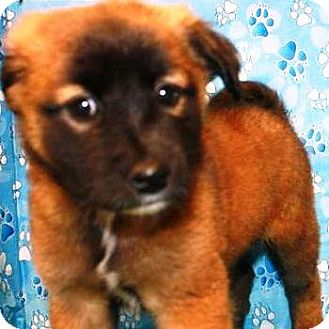 German Shepherd Dog/Belgian Malinois Mix Puppy for adoption in Oswego, Illinois - I'M ADOPTED Sarge Eigenbauer