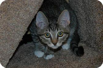 Domestic Shorthair Kitten for adoption in Houston, Texas - Winter