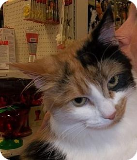 Domestic Longhair Cat for adoption in Lake Linden, Michigan - Patches