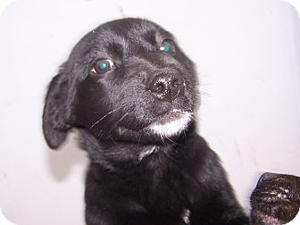 Labrador Retriever/German Wirehaired Pointer Mix Puppy for adoption in Chewelah, Washington - Beauty