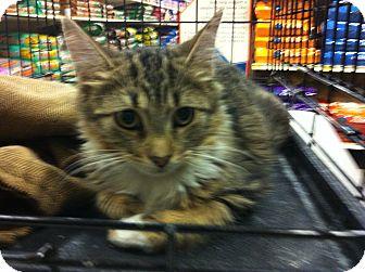 Maine Coon Kitten for adoption in Pittstown, New Jersey - Nikkie