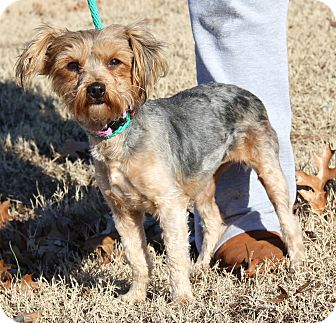 Yorkie, Yorkshire Terrier Mix Dog for adoption in Chicago, Illinois - Pixie