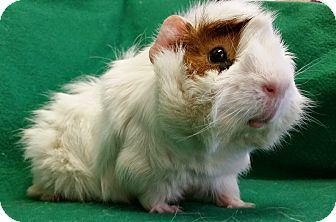 Guinea Pig for adoption in Lewisville, Texas - Ziggy