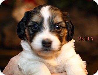 Terrier (Unknown Type, Small) Mix Puppy for adoption in Champaign, Illinois - Petey