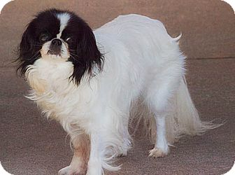 Japanese Chin Dog for adoption in Haslet, Texas - Laci