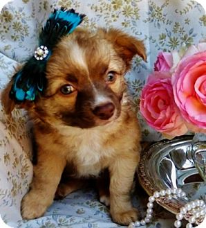 Sheltie, Shetland Sheepdog/Spaniel (Unknown Type) Mix Puppy for adoption in Irvine, California - Lady Rose
