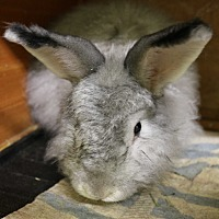 Angora, Satin for adoption in Seattle c/o Kingston 98346/ Washington State, Washington - Chino and Chenille