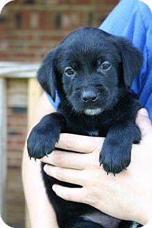 Golden Retriever Mix Puppy for adoption in Foster, Rhode Island - Jefferson