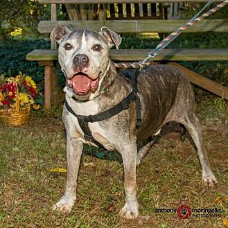 American Pit Bull Terrier Dog for adoption in Fredericksburg, Virginia - Matt - FOHA