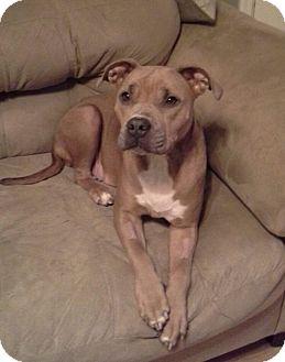 Terrier (Unknown Type, Medium) Mix Dog for adoption in ST LOUIS, Missouri - Petunia