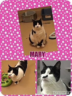Domestic Shorthair Cat for adoption in Goshen, New York - Mary
