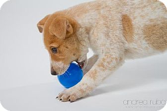 Collie/Australian Cattle Dog Mix Puppy for adoption in Cedar Rapids, Iowa - Mac