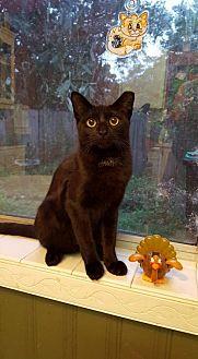 Bombay Kitten for adoption in Orlando, Florida - Kasey