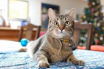 Domestic Shorthair Cat for adoption in Manhattan, Kansas - Princess