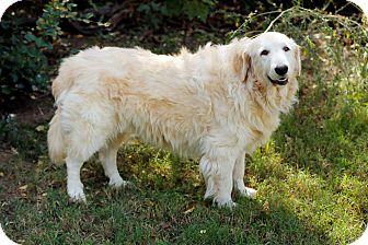 Great Pyrenees/Golden Retriever Mix Dog for adoption in Tulsa, Oklahoma - Marley *Adopted