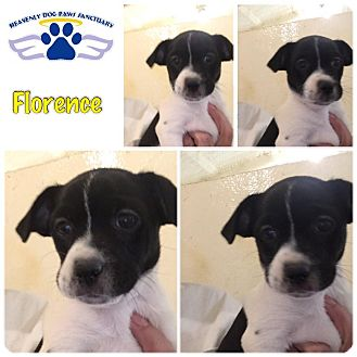 Terrier (Unknown Type, Small) Mix Puppy for adoption in Folsom, Louisiana - Florence