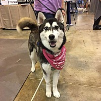 Siberian Husky Puppy for adoption in Sugar Land, Texas - Alita