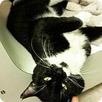 Domestic Shorthair Cat for adoption in Fort Smith, Arkansas - Bonnaroo-FIV