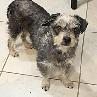 Standard Schnauzer/Poodle (Miniature) Mix Dog for adoption in Spring, Texas - Huey