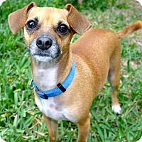 Chihuahua/Beagle Mix Dog for adoption in Ft Myers Beach, Florida - Pick me, Pick me!!!