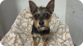 Yorkie, Yorkshire Terrier Mix Puppy for adoption in Bartonsville, Pennsylvania - Reesie