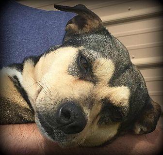 Labrador Retriever/Australian Cattle Dog Mix Dog for adoption in Demopolis, Alabama - Sunrise