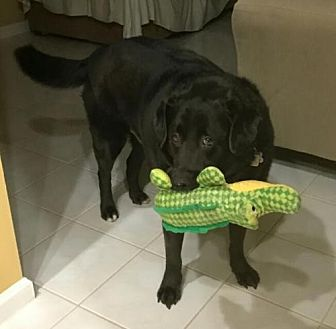 Labrador Retriever Dog for adoption in Royal Palm Beach, Florida - NITTANY - COURTESY POST