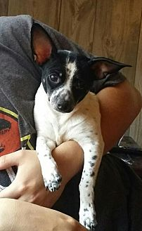 Rat Terrier Mix Dog for adoption in Royal Palm Beach, Florida - Nugget