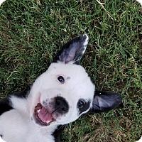 Adopt A Pet :: AbbaZabba - Allen, TX