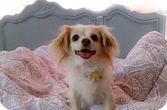 Papillon/Chihuahua Mix Dog for adoption in Las Vegas, Nevada - Precious
