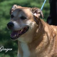 Adopt A Pet :: Ginger Spice - Middleburg, FL