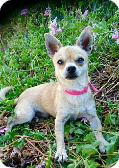 Chihuahua Mix Dog for adoption in Irvine, California - KIWI