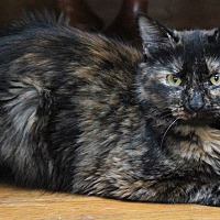 Adopt A Pet :: Jocelyn - Millersville, MD