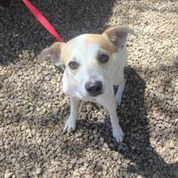 Adopt A Pet :: Little Pea - Phoenix, AZ
