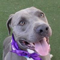 Adopt A Pet :: MOOSE - Las Vegas, NV
