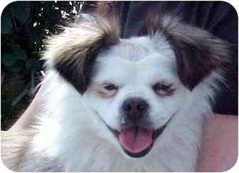 Pekingese Mix Dog for adoption in Spring Valley, California - Guinevere/Gweneviere