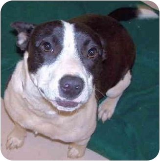 Border Collie Mix Dog for adoption in Grass Valley, California - Domino