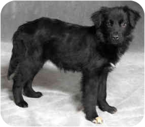 Border Collie/Retriever (Unknown Type) Mix Puppy for adoption in Chicago, Illinois - Janey(ADOPTED!)