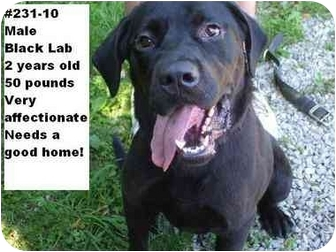 Labrador Retriever Mix Dog for adoption in Zanesville, Ohio - # 231-10 @ Animal Shelter