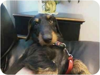 Dachshund Dog for adoption in Oak Ridge, New Jersey - Edward