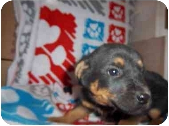 Shepherd (Unknown Type)/Rottweiler Mix Puppy for adoption in Westminster, Colorado - November