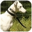 Photo 1 - Greyhound/Whippet Mix Dog for adoption in Santa Rosa, California - Clay
