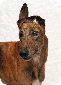 Greyhound Dog for adoption in West Palm Beach, Florida - Rider