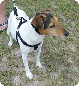 Jack Russell Terrier/Jack Russell Terrier Mix Dog for adoption in Umatilla, Florida - Rusty