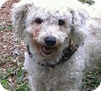 Bichon Frise Mix Dog for adoption in St. Petersburg, Florida - Bojangles