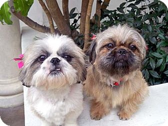 Shih Tzu Mix Dog for adoption in Los Angeles, California - JEWEL & JOLI