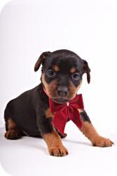 Miniature Pinscher Puppy for adoption in Morris, Illinois - ROSIE