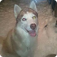 Adopt A Pet :: Phoebe - Belleville, MI