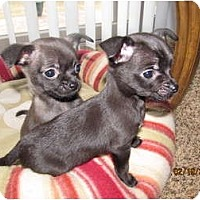 Adopt A Pet :: Cha Cha and Taco - CHESTERFIELD, MI